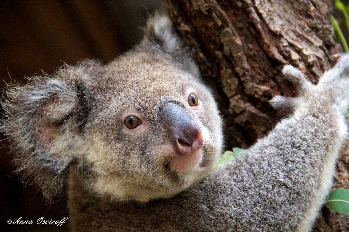Daisy Hill Australia  city images : Daisy Hill Koala Photographs Anna Osetroff